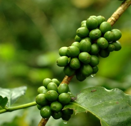 Green Coffee Bean Extract: Why the Fuss? - charlie!